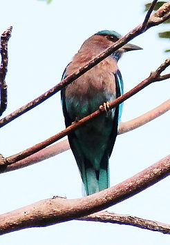 Бенгальская сизоворонка (Coracias benghalensis) Indian Roller