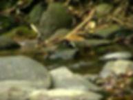 Каштановошапочный пегий дрозд (Enicurus ruficapillus) Chestnut-naped Forktail