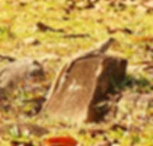 Агама-бабочка (Leiolepis belliana) Commo