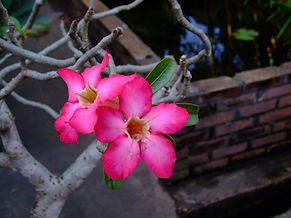 Плюмерия Таиландл