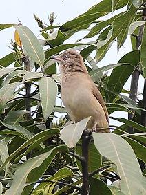 Бюльбюль Бленфорда (Pycnonotus blanfordi) Streak-eared Bulbul