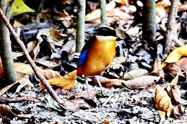 Молуккская питта. Blue winged Pitta. Pitta moluccensis