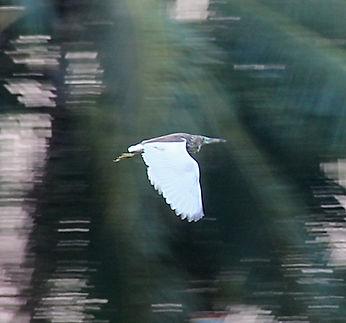 Белокрылая цапля (Ardeola bacchus) Chine