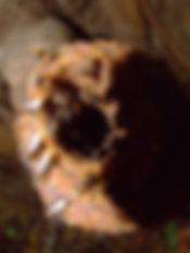 Гнездо безжальных пчел