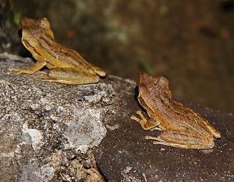 Домовый веслоног  (Polypedates leucomyst