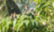 Чешуйчатогрудая амадина(Lonchura punctulata) Scaly-breasted Munia