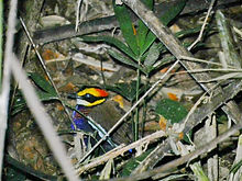 Суматранская синехвостая питта (Pitta irena) самка