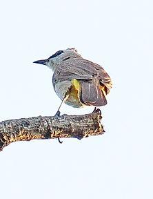 Желтобрюхий бюльбюль (Pycnonotus goiavier) Yellow-vented Bulbul