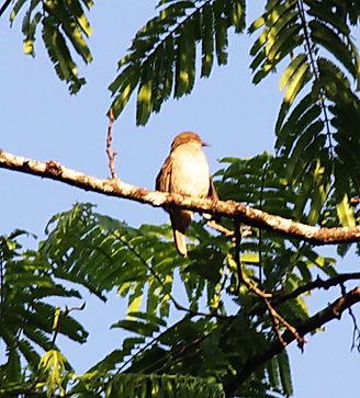 Красноглазый бюльбюль (Pycnonotus brunne