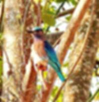 Бенгальская сизоворонка. Coracias benghalensis. Indian Roller