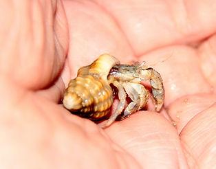 Морской рак-отшельник. Sea hermit crab .Таиланд