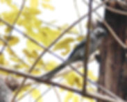 Серый дронго (Dicrurus leucophaeus  leucogenis)Ashy Drongo.
