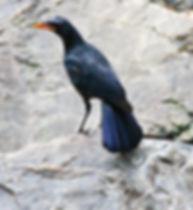 Синяя птица (Myophonus caeruleus) Blue Whistling-Thrush
