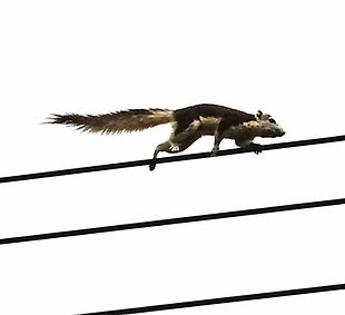 Белка Финлайсона  (Callosciurus finlaysonii) Finlayson's Squirrel