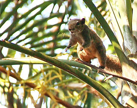 Краснобрюхая белка (Callosciurus erythraeus siamensis) Pallas's squirrel