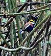 Суматранская синехвостая питта (Pitta irena) Banded Pitta, Sri Phang-nga