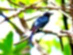 Juvenile Chestnut-bellied Malkoha (Phaenicophaeus sumatranus)
