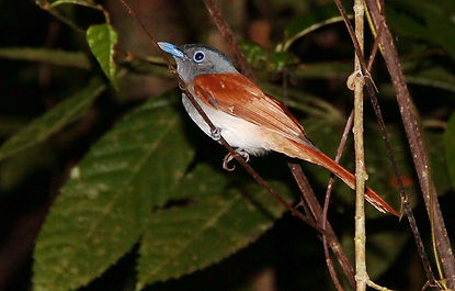 Краснокрылый стахирис. Stachyris erythroptera  Chestnut-winged Babbler