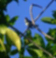 Молодая мокрая ошейниковая (яванская) веерохвостка (Rhipidura javanica).