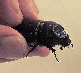 Жук-носорог Asiatic rhinoceros beetle. (Oryctes rhinoceros), самка.