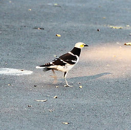 Черношейный скворец (Gracupica nigricollis) Black-collared Starling