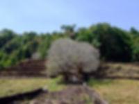 Чампа плюмерия  Франжипани Лаос