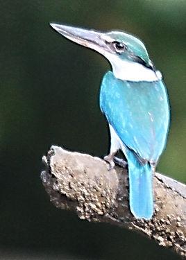 Белошейная альциона (Todiramphus chloris() Collared Kingfisher