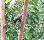 Серогрудая щетинистая кукушка Plaintive Cuckoo (Cacomantis merulinus).