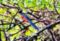 Коромандельская хохлатая кукушка. Clamator coromandus. Chestnut-winged Cuckoo