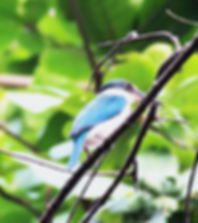 Белошейная альциона (Todiramphus chloris() Collared Kingfisher