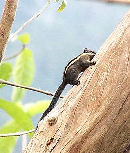 Бирманская полосатая белка (Tamiops mcclellandii) Burmese striped squirrel
