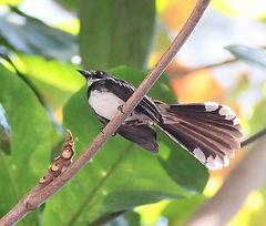 Ошейниковая веерохвостка, самец. Rhipidura javanica. Malaysian Pied-Fantail, male