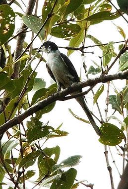 Серый личинкоед. (Pericrocotus divaricatus) Ashy Minivet