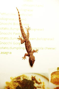 Flat-tailed house gecko. (Hemidactylus platyurus)