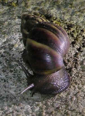 Ахатина гигантская (Achatina fulica) African giant snail