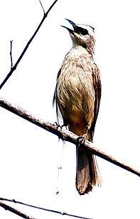 Желтобрюхий бюльбюль (Pycnonotus goiavier) Yellow-vented Bulbul.