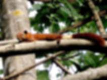 Callosciurus finlaysonii аnnellatus