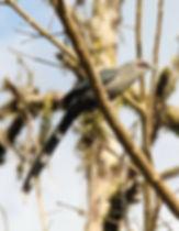 Кокиль (Phaenicophaeus tristis)  Green-billed Malkoha