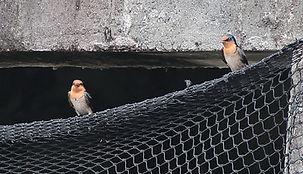 Коричневогорлая ласточка(Hirundo tahitica) Pacific Swallow