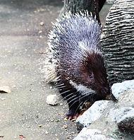 Дикобраз в зоопарке Накхон Си Тхаммарата
