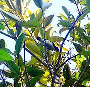 Алый цветосос ( Dicaeum cruentatum)