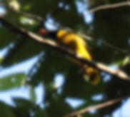 Чернохохлый бюльбюль. Pycnonotus flaviventris. Black-crested Bulbul