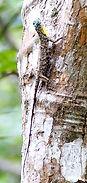 Летучий дракон (Draco volans) Сommon flyin