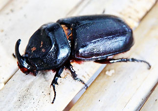 Кокосовый Жук-носорог (Oryctes rhinoceros) Asiatic rhinoceros beetle. Самец
