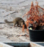 Малайская тупайя (Tupaia belangeri) Northern treeshrew