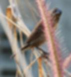 Чешуйчатогрудая амадина(Lonchura punctulata) Scaly-breasted Munia. Juvenilus