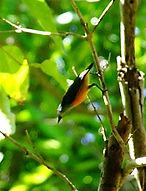 Кхао Но Чу Чи. Оранжевобрюхий цветосос    (Dicaeum trigonostigma)