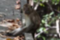 Макак-крабоед. Яванский макак.  (Macaca fascicularis) Crab-eating macaque