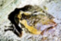 Украшенная Бычья  лягушка (Kaloula pulchra) Banded bullfrog