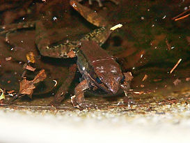 Black-striped Frog (Hylarana nigrovittata)